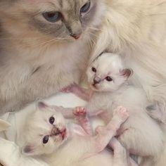 Mommy #vanilj with #minivaniljerna2017 Lilac and Pink #birma #birman #breeder #catsofinstagram #chokladochvanilj #kitten #pinkalicious #welovecats #we_love_cats #excellent_cats #excellent_kittens #birman_feature #birman_cats_lovers #birmavanner