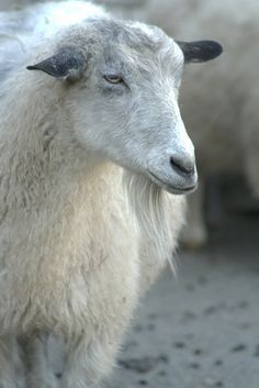 Raising Goats at Home for Milk, Meat, Fleece and Pets Great site with links to other farm animals Pygora Goats, Raising Goats, Keeping Goats, Goat Barn, Baa Baa Black Sheep, Counting Sheep, Sheep And Lamb, Mini Farm, Goat Farming