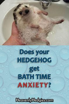 Does your hedgehog spaz out and have bath time anxiety? Read our tips and learn about a way to help your little lap cactus . Hedgehog Bath, Cute Hedgehog, Guinea Pig Toys, Guinea Pig Care, Guinea Pigs, Homemade Cat Toys, Secret Life Of Pets, Pet Care Tips, Little Pets