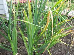 чем подкормить чеснок в мае от пожелтения сохраните, чтобы не потерять!почему желтеют листья у