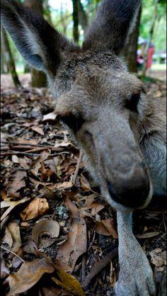 Kangaroo #roadtrip #australia #freedom #luftmensch #luftmenschren #followyourdreams #journey #travel #picoftheday#instagood #photography #blog