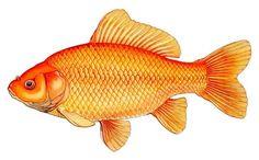Hibuna, illustration by Merlin Cunliffe, 1990 Goldfish Types, Octopus Art, Fish Art, Coi Fish, Bling Wallpaper, Coarse Fishing, Freshwater Aquarium Fish, Fish Drawings, Skull Art
