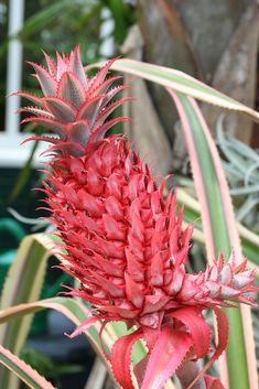 """pochamarama: Ananas bracteatus ~ bromelia familie (Familie bromeliaceae) Hier afgebeeld is de vrucht van A. bracteatus.  Het is inheems in Brazilië, waar het bekend staat als ananás-de-cerca, """"omheining ananas"""", verwijzend naar zijn gebruik als sierplant haag in tuinen.  Het is in hetzelfde genus als de meer bekende ananas, Ananas comosus.  foto bron"""