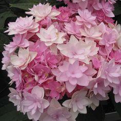 Hortensia - Hydrangea macrophylla You and Me Romance - Superbe variété toute nouvelle, aux inflorescences rondes, garnies de fleurons doubles rose ou bleu pâle, selon le sol.