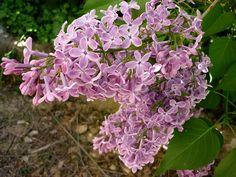 SYRINGA VULGARIS - AGUDA - IB-098 (Lilà) - Syringa vulgaris - Wikimedia Commons Syringa Vulgaris, Wikimedia Commons, Planting Flowers, Plants, Plant, Lilacs, Lilac, Planets