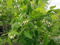 Staphylea trifolia.  Small tree/shrub.  Grows in partial shade.  Spring flowers and fall seed pods.  I wonder if it would do well in Oregon.
