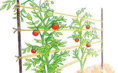 Growing Organic Tomatoes Tomato trellis as a woven row - Fantastic ideas for tomato trellis or tomato cages. DIY trellis ideas to make your own tomato trellis or tomato cages using cattle panel fencing. Bamboo Trellis, Tomato Trellis, Diy Trellis, Garden Trellis, Trellis Ideas, Tomato Vine, Tomato Cages, Tomato Cage Diy, Tomato Tomato