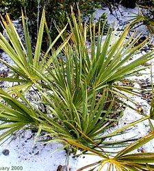 Scrub Palmetto (Sabal etonia)  Summary: flowers in spring-summer; small, black berries in summer-fall; long-lived (likely over 100 years); tolerates hot, dry conditions; endemic to central Florida sand scrub; difficult to transplant
