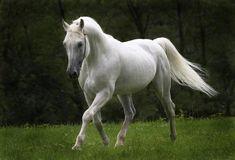 Fotos de cavalos brancos