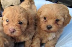 Puppies For Sale In Melbourne | Buy Pet Products Online | Upmarket Pets Online Store