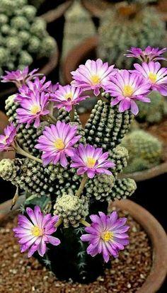 Succulent Gardening, Cacti And Succulents, Planting Succulents, Planting Flowers, Flower Plants, Flower Beds, Exotic Plants, Exotic Flowers, Amazing Flowers