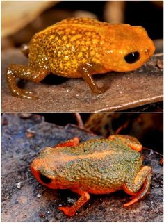 Two of the new species of miniaturized frog found in the Brazilian Atlantic Forest are pictured. Upper image is of Brachycephalus auroguttatus and lower image is of Brachycephalus verrucosus.