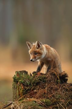 ~~Vulpes vulpes ~ Red Fox Kit by jaroslavciganik77~~