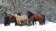Good old days of NoDoubt in the herd in the snow ... #November #2015 #NoDoubt #horse #Haflo #gelding #love
