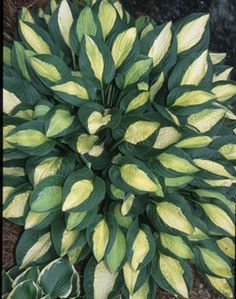 Hosta Gypsy Rose (J. Anderson NR)