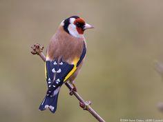 European Goldfinch (Carduelis carduelis) One of God's Masterpieces! Different Types Of Animals, British Wildlife, Goldfinch, Bird Pictures, Colorful Birds, Little Birds, Wild Birds, Bird Watching, Islamic Art