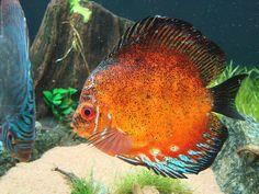 Symphysodon, freshwater cichlids