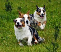 The Daily Corgi: Saturday #Corgi Smilers: Simon, Caleb and Bella!