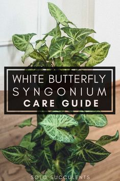 Here's a White Butterfly Syngonium care guide, as well as watering advice and propagation tips and tricks for maintaining a healthy arrowhead plant. Palm Plant, Indoor Plant Pots, Indoor Garden, Butterfly Plants, White Butterfly, Peace Lily Plant, Snake Plant Care, Easy To Grow Houseplants, Arrowhead Plant