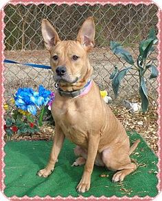 Marietta, GA - Shepherd (Unknown Type) Mix. Meet SHELBY - see also BELLA, a dog for adoption. http://www.adoptapet.com/pet/12450326-marietta-georgia-shepherd-unknown-type-mix