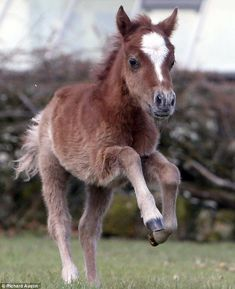 Tiny: Sorrel will join the other horses at the Miniature Pony Centre in a few days time after she is allowed to bond with her mother