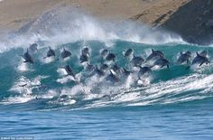 Who needs a surfboard? This pod of 40 bottlenose dolphins were spotted riding 8ft-high waves as as they made their way up the east coast of South Africa (June 2013)