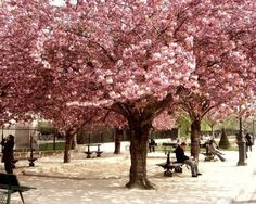Cherry Blossoms (X