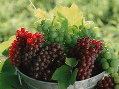 シャンパン用のブドウ品種