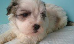 Little male Malshi puppy! 5 weeks old!