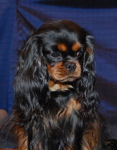 like my baby sadie cavalier king charles - best dogs ever
