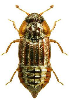 Micropeplus fulvus  Staphylinidae