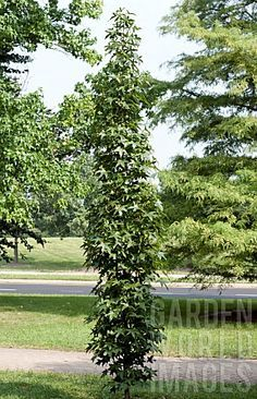7 Best Serviceberry Images Plants Service Berry Tree