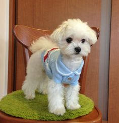The Havanese Puppies Personality Havanese Puppies, Maltese Dogs, Baby Puppies, Cute Puppies, Dogs And Puppies, Doggies, Dog Wear, Cute Little Animals, White Dogs