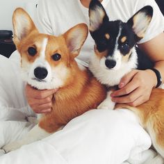 Hmmm... I wonder whose ears are bigger here... [I'm not a big Corgi fan because it seems cruel to breed dogs with those physical characteristics, but these two Pembroke Welsh Corgis, Butters and Olive Oil aka Ollie (left to right) are SO DARN CUTE!]