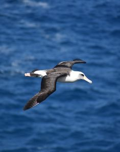 Picture of a flying albatross bird.
