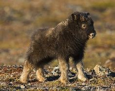 Conclusion: Baby Musk Oxen are adorable.