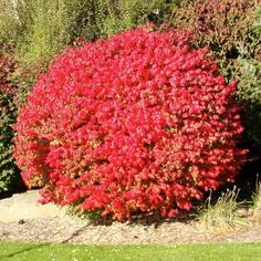 Compact Dwarf Burning Bush, Flaming Red Fall Color, Live Shrub for Sun in a 3 gallon pot, USDA Plant Zones Garden Shrubs, Landscaping Plants, Front Yard Landscaping, Landscaping Ideas, Xeriscape Plants, Stone Landscaping, Farmhouse Landscaping, Landscaping Software, Modern Landscaping