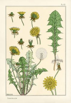 Original 1896 Grasset Art Nouveau Pochoir Floral prints For Sale Vintage Botanical Prints, Botanical Drawings, Botanical Art, Vintage Art, Illustration Photo, Illustration Blume, Illustrations, Eugene Grasset, Art Archive