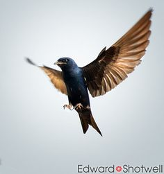 Purple martin tattoo - for daddy Could do a water color tattoo Left outer thigh