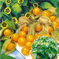 Physalis Preciosa 2 Pflanzen Ananaskirsche Andenbeere