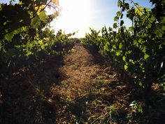 The sun is rising up over the beautiful vineyards of Domaine des Tourelles, in the heart of the Bekaa Valley.