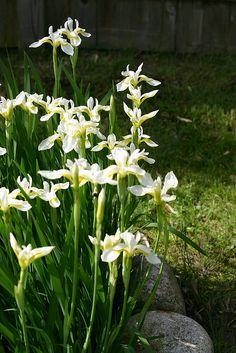 ~japanese white iris by alida saxon - plant near the dry creek drainage area