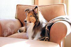 Sheltie look means something's up! #dogs #pets #Shelties facebook.com/sodoggonefunny