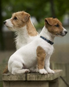 Jack russell terrier's, I love these little dogs. Reminds me of Eddy on Frazier.