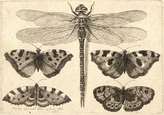:: Wenceslas Hollar - Dragonfly and four butterflies ::