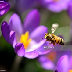 Pollen covered honey bee in flight gathering nectar from crocus flower.