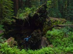 Fallen Giant Redwood along the Avenue of the Giants. How can a tree be this big?