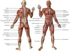 Les muscles -