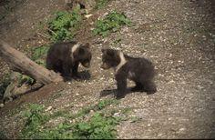 gli orsetti giocherelloni  ph. Fedrizzi, PNAB