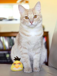 Cats like to hunt, and the Hartz Angry Birds Running Bird toy stimulates his predatory instinct. Filled with catnip, this yellow bird runs away from your cat when you pull the Bird's tail.